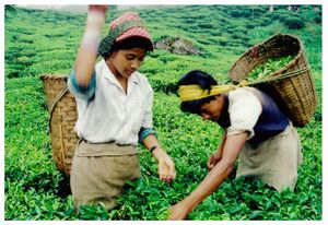 ジュンパナ茶園FF300206