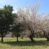 梅の花3月18日